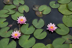 Water Lily, pink #3