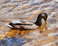 Mallard. Lily Lake, Rocky Mountain National Park, Colorado. Image taken with a Nikon D3 camera and 105 mm f/2.8 macro VR lens.