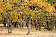 autumn Garry Oak (Quercus garryana) forest, Klickitat Canyon rim, Klickitat County, WA, USA