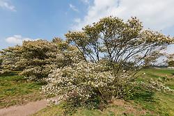 Amerikaans krentenboompje, Amalanchier lamarckii