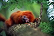 The teeth of the Golden Lion Tamarin are well suited for their omnivourous feeding habits. These monkeys eat insects, frogs, fruits, nectar and flowers. | Die Löwenäffchen besitzen ein Allesfressergebiss. Sie ernähren sich von Insekten, Fröschen, Früchten, Nektar und Blüten.