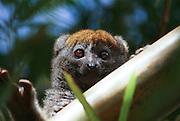 Madagascar, Eastern Bamboo Lemur (Hapalemur griseus griseus),