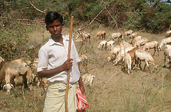 Young boy tending a herd of goats in the countryside in Tamil Nadu; India,