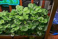 AeroGarden Farm 07-Right. Strawberry Plants (85 days). Image taken with a Leica TL-2 camera and 35 mm f/1.4 lens (ISO 640, 35 mm, f/8, 1/50 sec).
