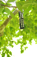 ID tag of Korean Stewartia - Sewartia Pseudocamellia, Korean Splendor - hanging from tree branch, seen from below, at Clark Botanic Garden, a Town of North Hempstead park, in Albertson, NY 11507, on July 12, 2012
