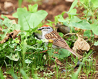 Chipping Sparrow. Image taken with a Nikon D4 camera and 400 mm f/4 VR lens