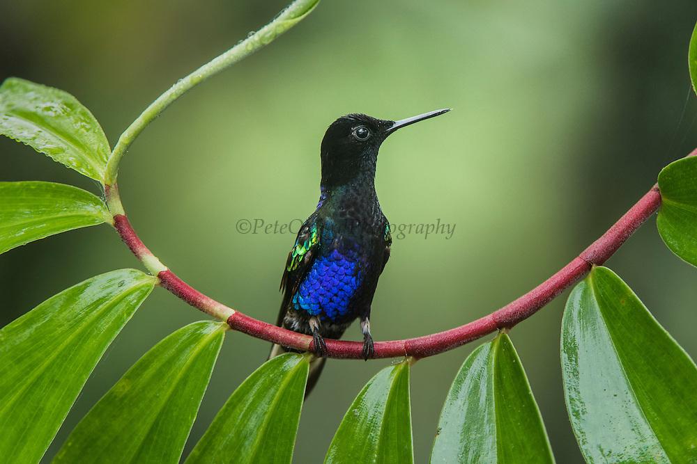 Velvet-Purple Coronet (Boissonneaua jardini)<br /> Mashpi Rainforest Biodiversity Reserve<br /> Pichincha<br /> Ecuador<br /> South America