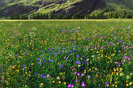 A magnificent carpet of wildflowers in Val Cenis, a valley of the Haute Maurienne in the french Western Alps. Stitched from five vertical takes.