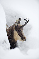 04.11.2008.Chamois (Rupicapra rupicapra) in snowy weather..Gran Paradiso National Park, Italy