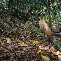 The yellow-throated marten (Martes flavigula) is an Asian marten species, which is listed as Least Concern on the IUCN Red List due to its wide distribution, evidently relatively stable population, occurrence in a number of protected areas, and lack of major threats.