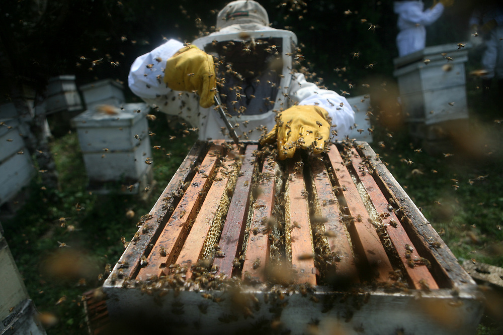 Miguel Angel García, beekeeper, opens a defensive africanised hive to check the health of the hive frame by frame. The bees swarm around him.<br /> <br /> COADAP, Cooperativa Agrícola de. Apicultores de Petén, is a certified fairtrade producer based in the Petén jungle in Guatemala.
