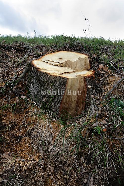 stump of a fresh cut down tree