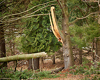 Tree damaged by Nor'easter. Image taken with a Nikon D5 camera and 80-400 mm VRII lens (ISO 100, 210 mm, f/5.3, 1/250 sec)