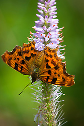 Comma butterfly on a Veronicastrum virginicum. Culver's root. Polygonia c-album