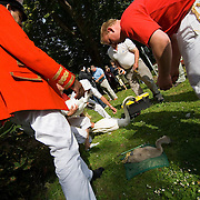 Aannual swan upping,  River Thames, Windsor, Berkshire, England , 16 Jul 2007. ..The annual swan upping takes place during the third week of July when the parent birds are in moult and the cygnets are too small to fly..Swan Upping dates from medieval times when the Crown claimed ownership of all mute swans at a time when swans were considered an important food source for banquets and feasts. Today the Crown retains the right to ownership of all unmarked mute swans in open water, but The Queen only exercises her ownership on certain stretches of the River Thames and it's surrounding tributaries. This ownership is shared with the Vinters' and Dyers' Companies who were both granted rights of ownership by the Crown in the fifteenth century. The swans are counted but no longer eaten. The Queen's Swan Marker, accompanied by the Swan Uppers of the Vinters' and Dyers' livery companies, uses six traditional Thames rowing skiffs in their five day journey upstream as far as Abingdon. By tradition scarlet uniforms are worn by The Queen's Swan Marker and Swan Uppers, and each boat flies their appropriate flags and pennants. The Queen's Swan Marker produces a report at the completion of Swan Upping each year which provides data on the number of swans accounted for, including broods and cygnets. The cygnets are weighed and measured to obtain estimates of growth rates and the birds are examined for any sign of injury, commonly caused by fishing hooks and line. .