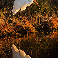 """Chincoteague Winter Reflection"" - Great egret (Ardea alba) reflected in a drainage canal at winter sunrise, Chincoteague National Wildlife Refuge, Assateague Island, VA. Honorable Mention, 2017 NECCC Print Competition."