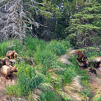 USA, Alaska, Katmai. Grizzly sow and cubs approaches riverbank as another grizzly sow and her cubs leave.
