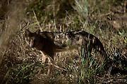 Aquidauana_MS, Brasil...Raposa da fazenda Rio Negro no Pantanal...The fox in the Rio Negro farm in Pantanal...Foto: JOAO MARCOS ROSA / NITRO