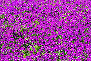frame filling background of violet pansies