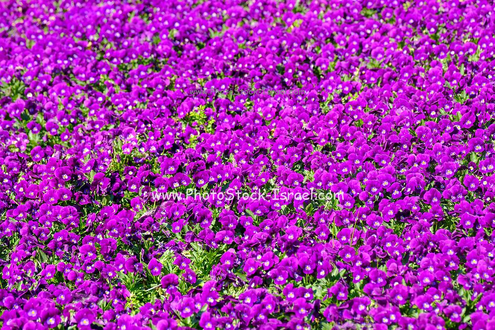 frame filling background of violet pansies
