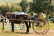 Mule (Mulus mula) in harness hitched to buggy at Montana Mule Days