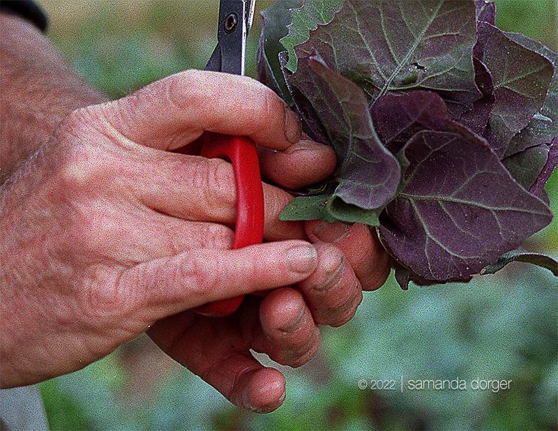 Harvesting greens for the farmer's market.