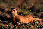Black-footed ferret, endangered species