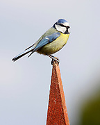 Blue tit, Parus caeruleus, on greenhouse end, Inverness-shire, Highland.<br /> bird; birds; tits; bright; sunny; urban; look; looking; watch;<br /> watching; perch; perched; alert; one; single; alone; lone;<br /> animal; animals; portrait; wildlife; nature; blue; yellow;<br /> s