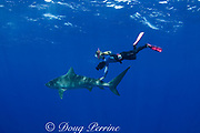 Stefanie Brendl swims with tiger shark ( Galeocerdo cuvier ) North Shore, Oahu, Hawaii, USA ( Central Pacific Ocean ) MR 389