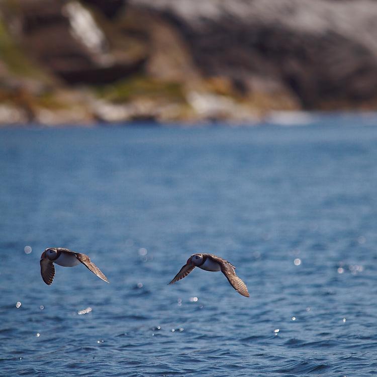 Norway - Puffins in flight