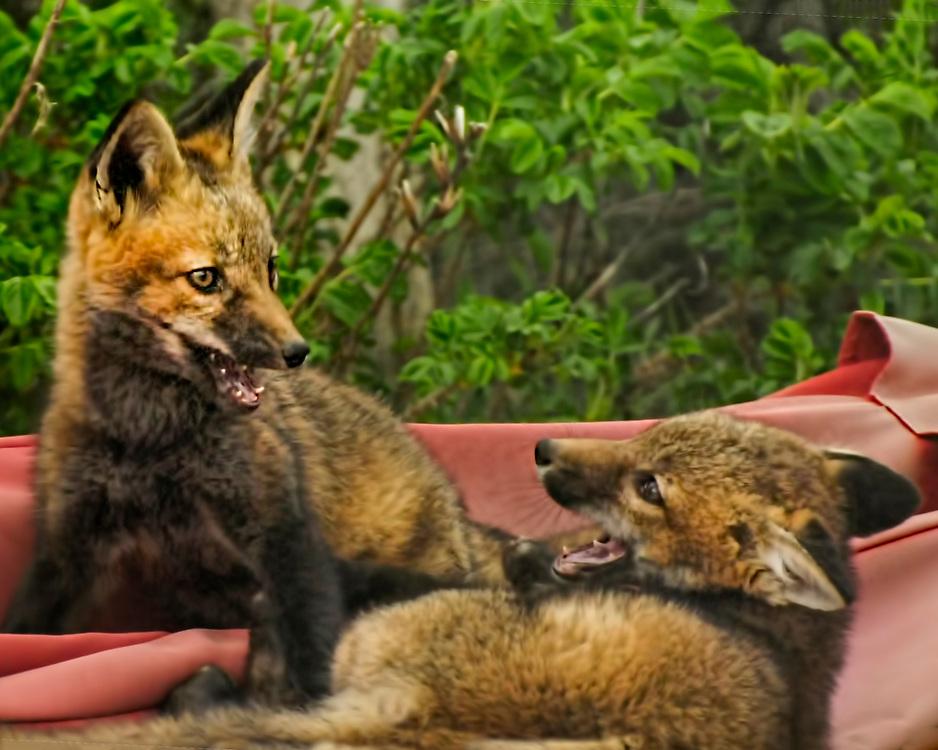 Foxes playing at Matunuck Beach Road, Matunuck Beach, Rhode Island