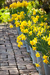 Brick path lined with Narcissus jonquilla 'Flore Pleno' in galvanised buckets. Also known as Narcissus x odorus Plenus