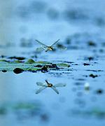 Dragonfly over Marsh & reflection - Mississippi
