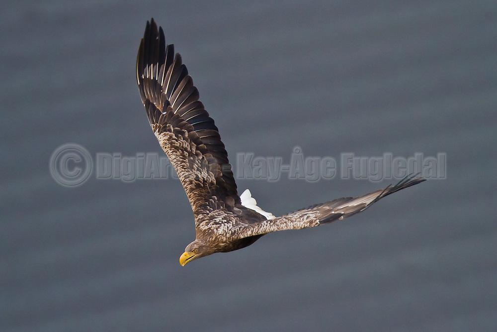 Havørn   White-tailed Eagle
