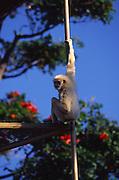 Monkey, Honolululu Zoo, Waikiki, Oahu, Hawaii<br />