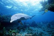 JoJo, a wild sociable bottlenose dolphin, Tursiops truncatus, Turks and Caicos ( Western Atlantic Ocean )