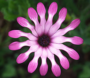 Close up abstract of a single colourful osteospermum flower (Osteospermum 'Whirlygig' showing the characteristic paddle-shaped petals growing in a garden in Dorset