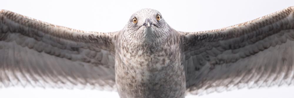 Eye contact with a grumpy Seagull flying over my head | Øyekontakt med en grinete måke som flyr over hodet på meg.