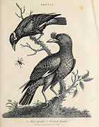 Gracula the Myna [here as Grakle] Copperplate engraving From the Encyclopaedia Londinensis or, Universal dictionary of arts, sciences, and literature; Volume VIII;  Edited by Wilkes, John. Published in London in 1810.