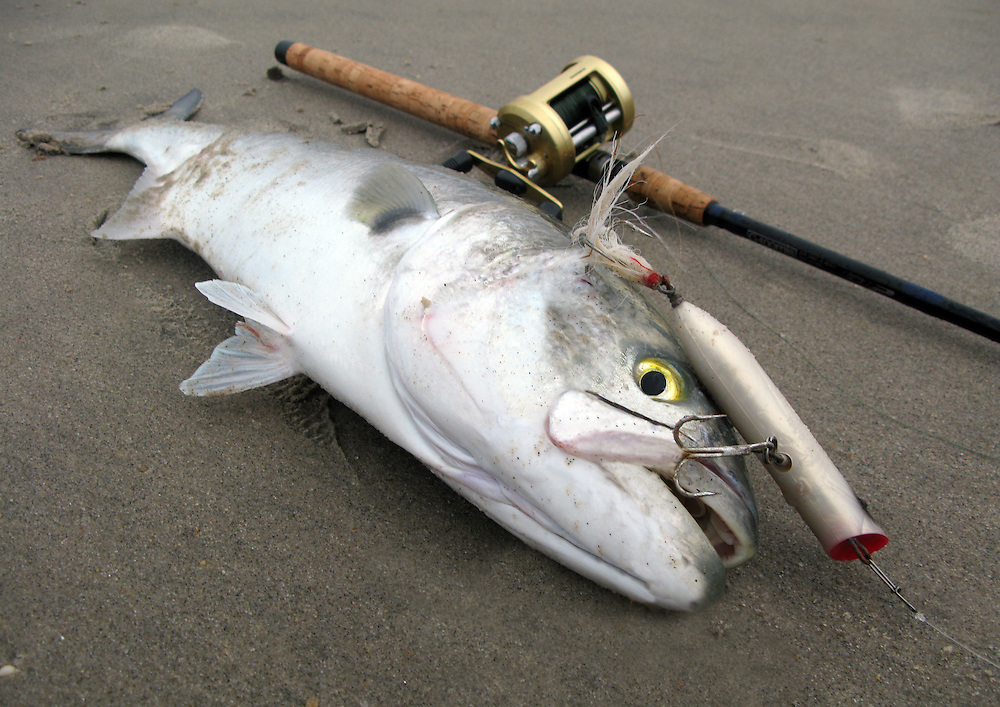 Giant 15 pound class bluefish, pomatomus saltatrix,  taken on a black and white Creek Chub popper, G Loomis casting rod and Shimano Calcutta casting reel in the surf at Sandy Hook New Jersey.
