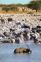 Oryx, Common Zebra & Wildebeest at the Okaukuejo waterhole in Etosha Nationl Park, Namibia