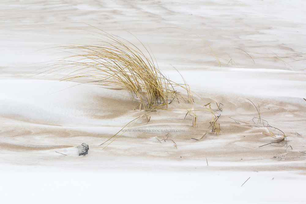 Beach grass being swept by the winter winds of Michigan