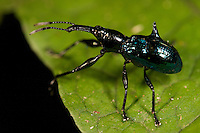 A weevil on a leaf.