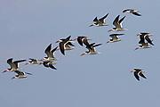Flock of Black Skimmers.(Rynchops niger).Back Bay, California.