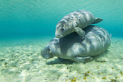 A Florida Manatee, Trichechus manatus, and her young shelter in the clear 72F freshwater of a north Florida spring during wintertime. Despite their appearance, this endangered animal has relatively a small amount of fat and insulation and is very sensitive to cold weather and water, which can be fatal if temperatures remain below 68F for an extended period of time.