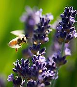 Bees feeding on lavendar, Anne Amie, Yamhill-Carlton AVA, Willamette Valley, Oregon