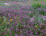 CADDV_030 - USA, California, Death Valley National Park, Notch-leaf phacelia and golden evening primrose in bloom near Furnace Creek.