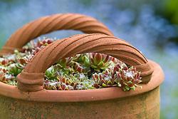 Sempervivum - Houseleeks in a terracotta basket