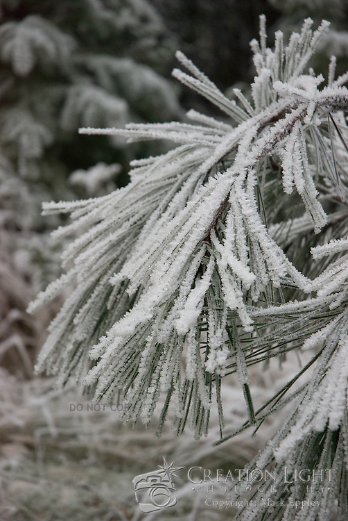 Pine Needles are weighted down by the heavy weight of the winter frost.  The frost forms beautiful crystaline structures that give the pine needles a very rough look and hide the actual needles.