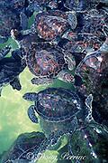juvenile green sea turtles, Chelonia mydas, Cayman Turtle Farm, Grand Cayman ( Caribbean )